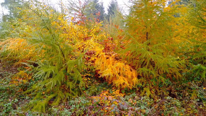 Желтеют ли елки осенью?