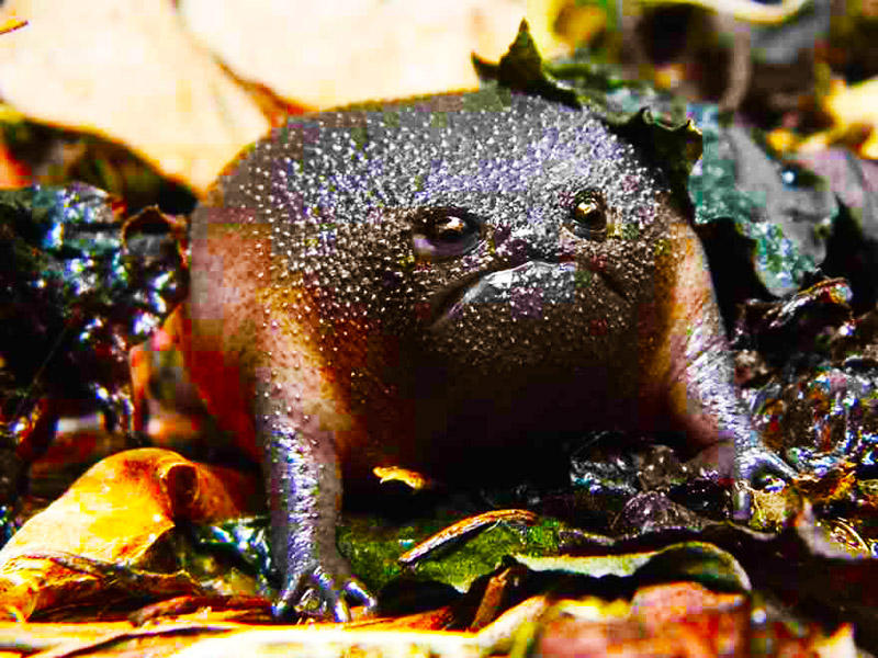Черная жаба